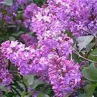 Le lilas de michel lys french - Quand tailler les lilas ...