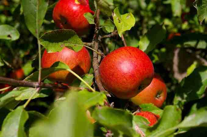 Arbres et arbustes fruitiers - cours
